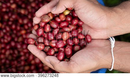 Fresh Red Coffee Red Cherry Coffee Bean In Hands