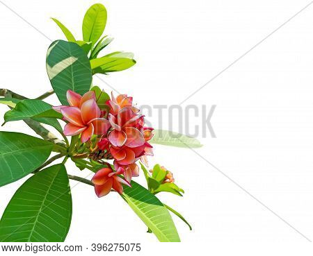 A Bunch Fragrant Flowering Plant Isolated On White Background, Die Cut With Clipping Path, Beautiful