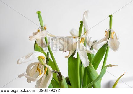 Dried Tulip Flowers Close Up. White-pink Wilted Tulip Flower Petals. Fading Spring Flowers In A Vase
