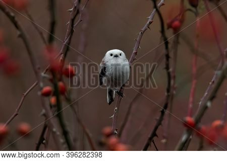Long-tailed Tit (aegithalos Caudatus) Sitting On A Branch In The Autumn Forest. Cute Tiny White Song