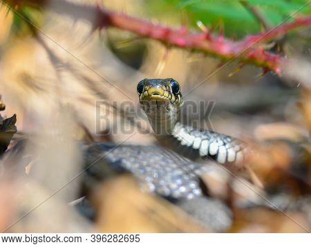 Grass Snake (natrix Natrix) Macro Photo, Facing The Camera. Nice Snake Hidden On The Ground In The F