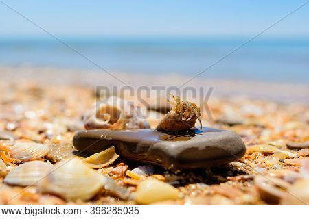 A Small Crayfish Is Selected From A Shell Against The Background Of The Sea. A Small Shell Lies On A