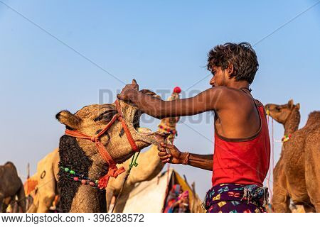 November 2019 Pushkar,rajasthan. After Piercing The Nose Of A Young Camel The Cameller Putting Water