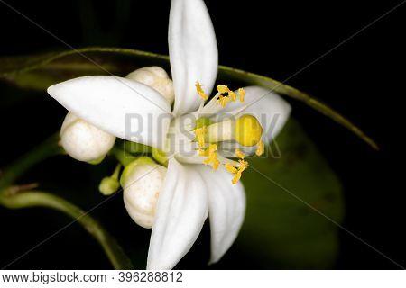 White Lemon Flower