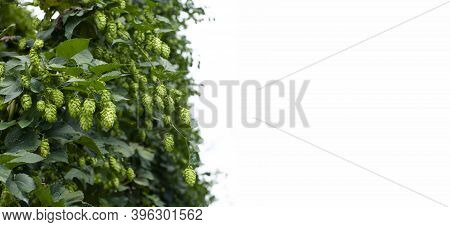 Hop Plant, Banner With Copy Space. Hop Cones And Leaves Harvest. Botanical Background, Selective Foc