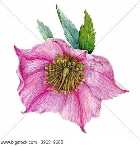 Single Pink Hellebore Flower In The Full Bloom With Green Leaves Watercolor Illustration. Beautiful