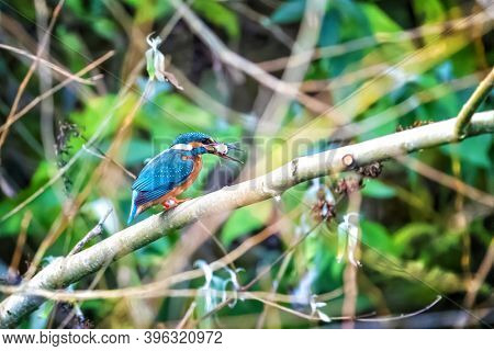 Female kingfisher, alcedo atthis, with fish in her beak. Hampshire, UK. This small bird. feeds on small fish, and dives to catch them. It is quite rare and considered to be a vulnerable species.