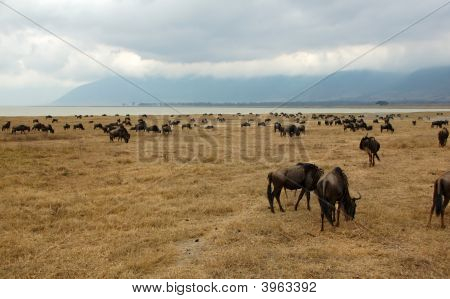 Gnus Next To The Ngorongoro Crater Lake