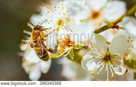 Closeup Of A Honey Bee Gathering Nectar And Spreading Pollen On White Flowers On Cherry Tree. Import