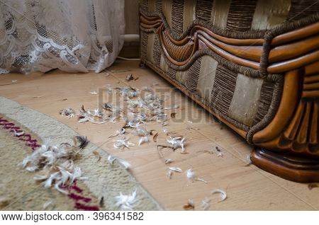 Chicken Feathers From  Loose Cushion On The Floor Inside The Room. Huge Collection Of Chicken Feathe