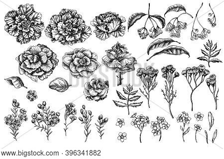 Vector Set Of Hand Drawn Black And White Wax Flower, Forget Me Not Flower, Tansy, Ardisia, Brassica,