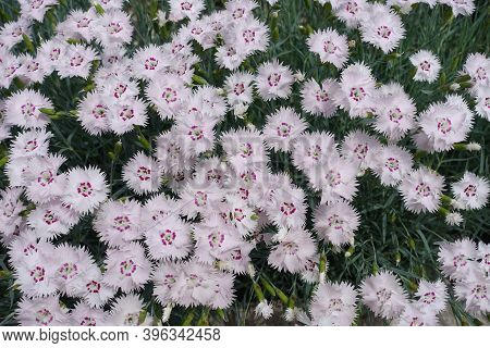 Tender Light Pink Flowers Of Dianthus Deltoides In May
