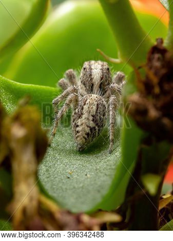 Adult Jumping Spider On A Flaming Katy Plant