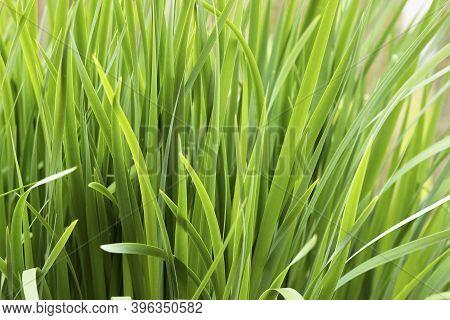 Background Of Hemerocallis Fulva Grass. Hemerocallis Fulva Close Up With Mockup