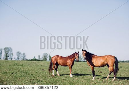 Two Brown Horses Are Grazing In Field. Rural Animal Husbandry.