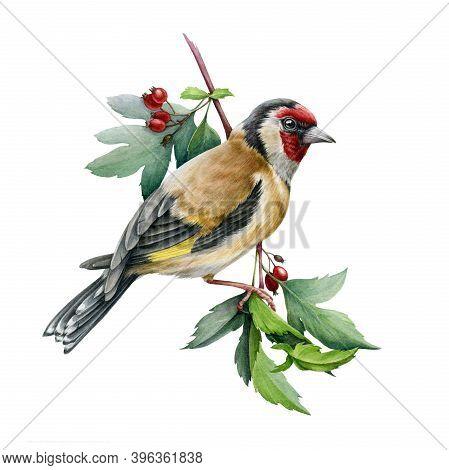 Goldfinch Bird On A Hawthorn Branch Illustration. Hand Drawn Watercolor Realistic Garden Bird With R