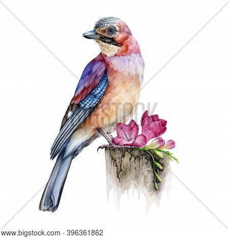 Jay Bird With Freesia Flower Realistic Watercolor Image. Hand Drawn Wild Forest Europe Avian Single