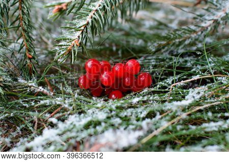 Red Rowan Berries And A Christmas Tree Branch On The Green Grass Are Covered With Snow. Winter Chris