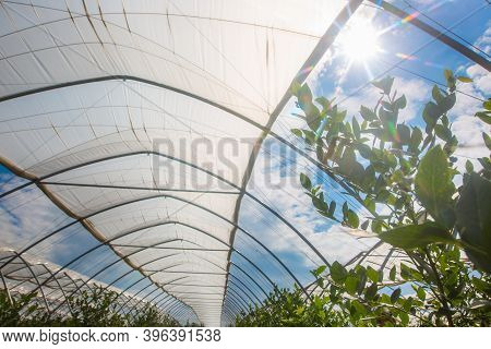 Close Up Of A View To Greenhouses, Blueberry Farmyard With A Lot Of Fresh Blueberries, Food Concept