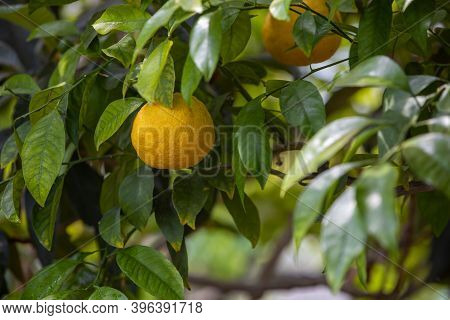 Close Up Of Bio Or Organic Lemon On The Tree In Huge Greenhouse, Food Concept