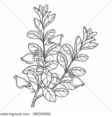 Vector Bunch Of Outline Nematanthus Or Goldfish Plant With Flower And Leaf In Black Isolated On Whit