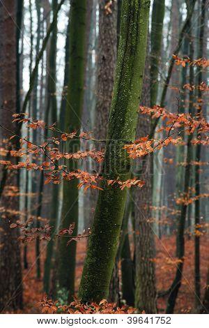 Hornbeam tree in forest.