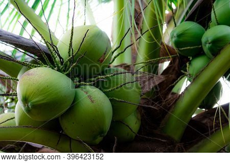 Bunch Of Coconut On Coconut Tree. Tropical Fruit. Palm Tree With Green Leaves And Fruit. Coconut Tre