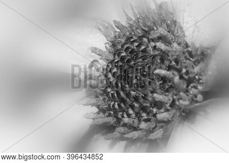 Close up shot of Gerber daisy flower in monochrome