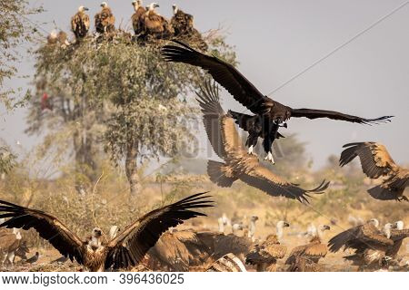 Cinereous Vulture Or Black Or Monk Vulture Closeup Flying With Wingspan At Jorbeer Conservation Rese