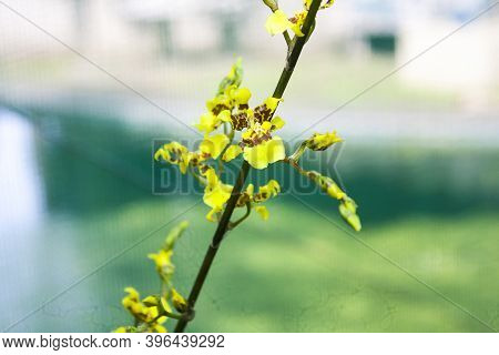 Yellow Oncidium Orchid Flower On Dark Green Stem