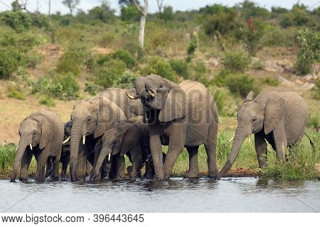 The African Bush Elephant (loxodonta Africana), Family Of Elephants Drinking. A Herd Of Elephants At
