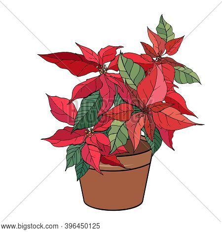 Exotic Plant Poinsettia Isolated On White Background. Tipical Room Plant Grown Indoors