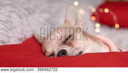Close Up Of Cute Little Christmas Dog Chihuahua Dog In Sweater Lies On A Blanket