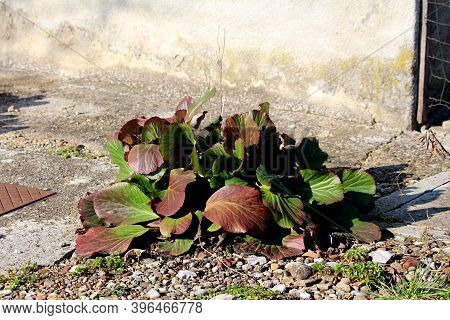 Bergenia Or Elephant Eared Saxifrage Or Elephants Ears Clump-forming Rhizomatous Evergreen Perennial