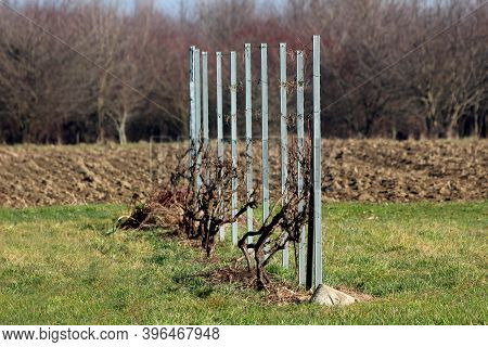 Short Vineyard Row Of Freshly Cut Vines Tied To Wire Between Strong Shiny New Metal Poles Surrounded