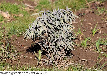 Small Densely Planted White Sage Or Salvia Apiana Or Bee Sage Or Sacred Sage Evergreen Perennial Shr