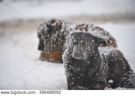 Stray Dogs Out In The Snow During A Cold And Snowy Winter Day.