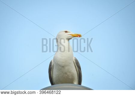 Seagull Sitting On A Lamp Post On A Sunny Day.