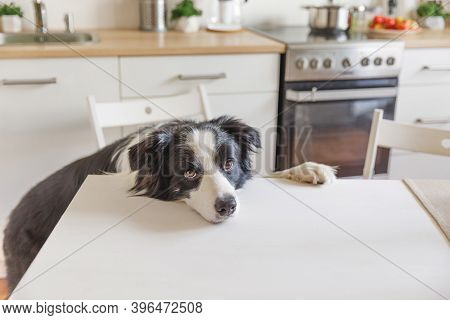 Hungry Border Collie Dog Sitting On Table In Modern Kitchen Looking With Puppy Eyes Funny Face Waiti