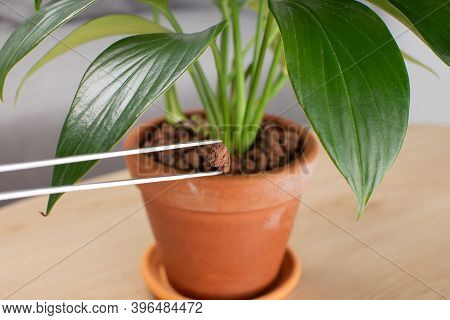 Hydrokorrels Or Hydro Granules. Planting Material For Plants. Philodendron Dragon Tail