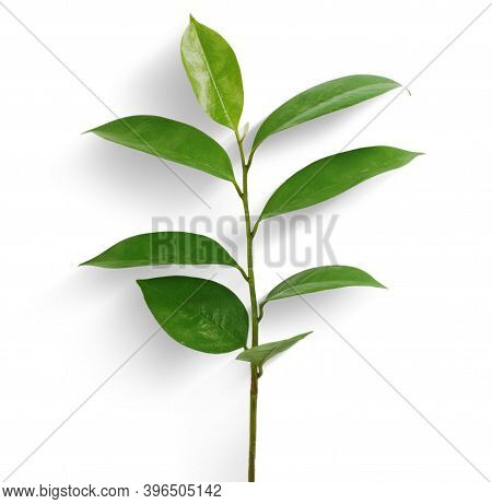 Single Soursop Leaf Isolated On White Background