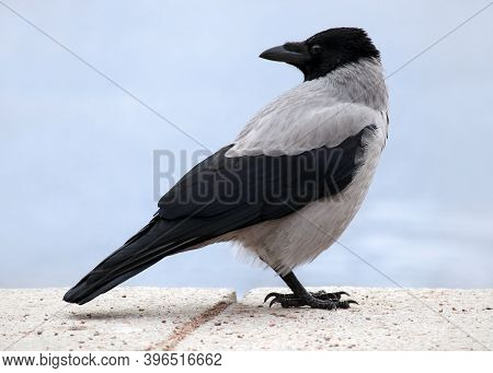 Young Hooded Crow (corvus Cornix) Also Called Hoodie On The City Embankment. Shallow Depth, Selectiv