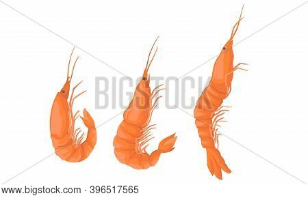 Cooked Shrimp Or Prawn As Crustaceans Seafood Vector Set