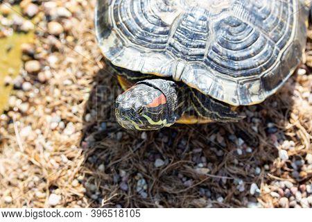 Portrait Of Trachemys Scripta Turtle Horizontal Photography Wildlife, Yellow-bellied Turtle On A Peb