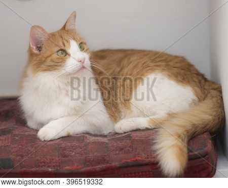 Closeup Of Cute Domestic Ginger House Cat Felis Catus Relaxing Indoor At Home Lying On Chair Cushion