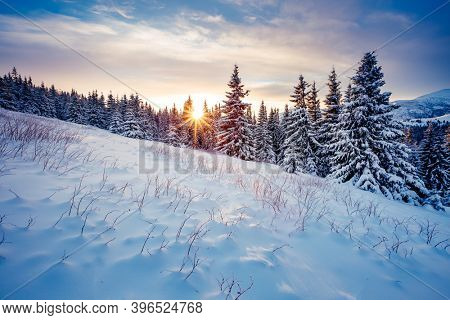 Splendid winter spruces in snow on a frosty day. Location place Carpathian mountains, Ukraine, Europe. Wintry wallpapers. Christmas holiday concept. Happy New Year! Discover the beauty of earth.