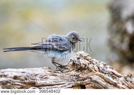 Juvenile White Wagtail Or Motacilla Alba Perches On Twig