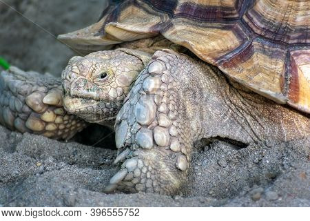 Asian Brown Tortoise Craws On A Sandy Surface