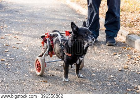 The Dog Is Disabled, Moves In A Wheelchair.