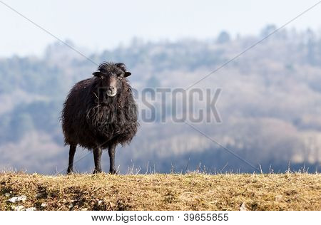Black Domestic Sheep